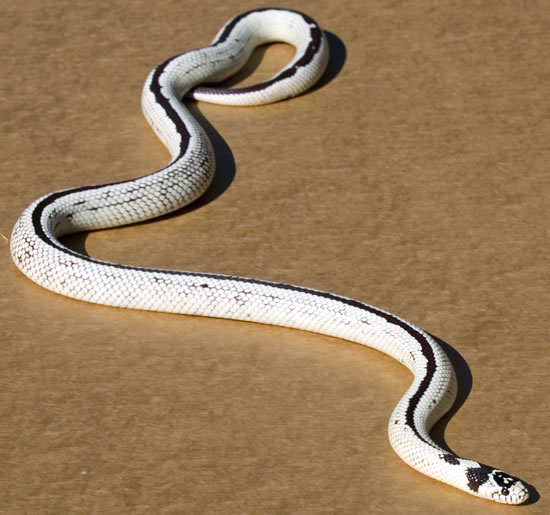 Earth Exotics Buy California King Snakes In Toronto - California king snake morphs