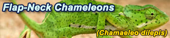 Our Flapneck Chameleon Collection